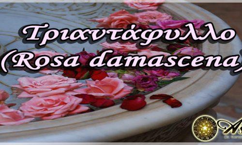 Τριαντάφυλλο